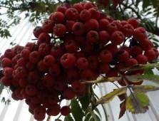 Vogelbeerenbusch