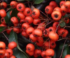 rote Vogelberen