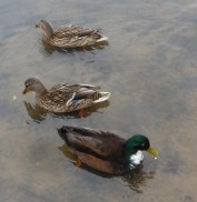 Entenfamilie und Tante