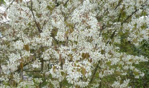 Weiße Frühlingsblüten