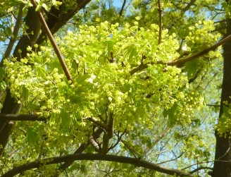 Ahorn Blüten wunderschön