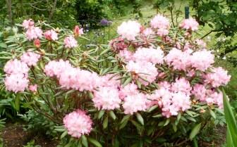 Rhododendronbusch weiß-rosa