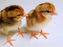 Nguyên nhân gà con bị khô chân, bụng to
