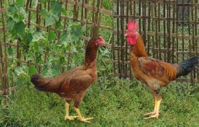 giống gà ta chọn lọc dòng tía đỏ