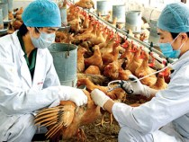 Bệnh sổ mũi truyền nhiễm (Coryza) trên gà