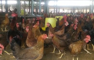Trại gà Giống Hữu Chiến