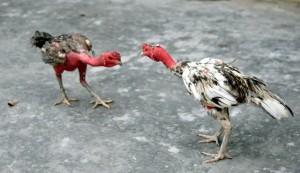 hai chú gà nòi bình định đang chiến đấu