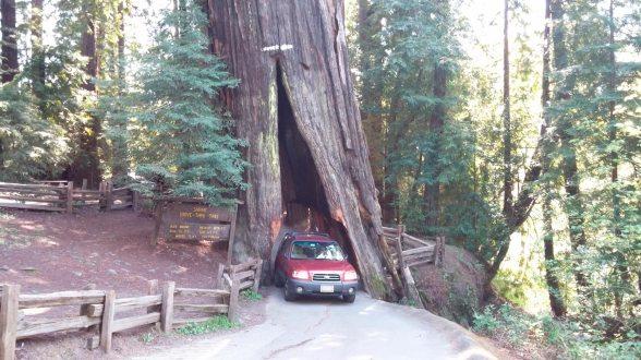 Shrine Drive Thru Tree, Myers Flat, CA 1