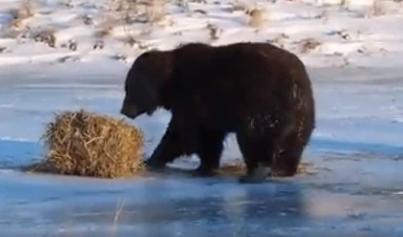 Un ours joue avec une botte de foin