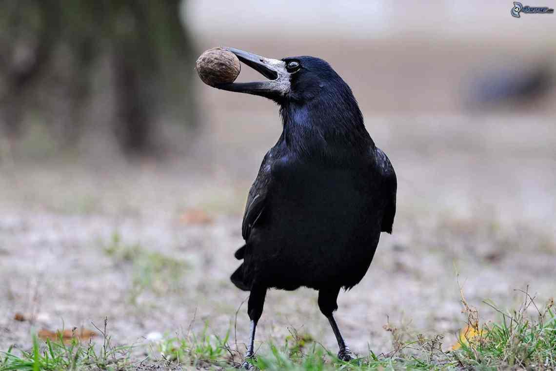 Le corbeau qui casse des noix intelligemment