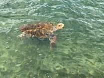 Želva v Argostoly