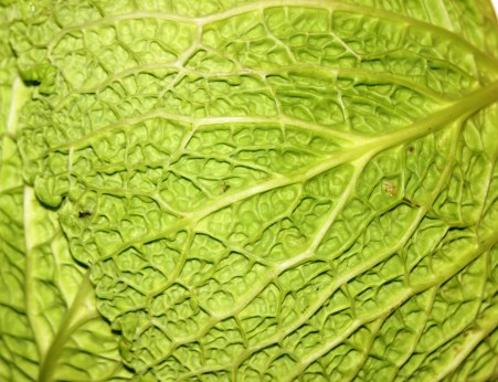 network pattern of a cabbage © Gail Harker