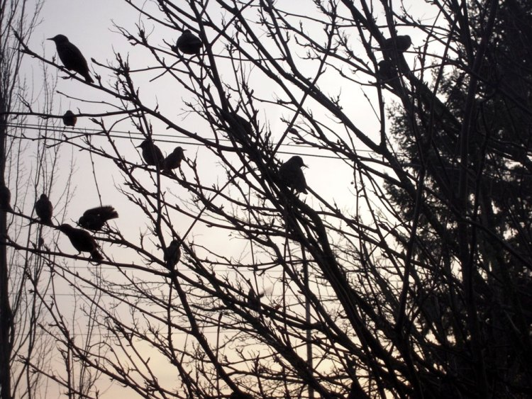 crows in the trees