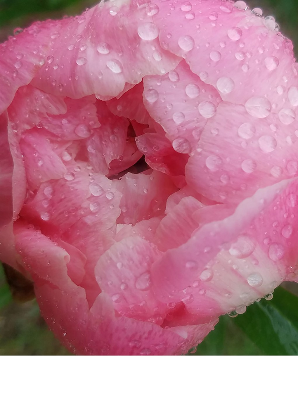 Pink Peony Detail - photograph by Gail Russell