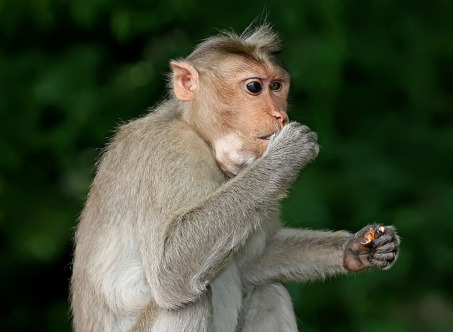 monkey eating to gain weight