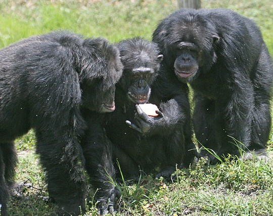 640px-Three_chimpanzees_with_apple