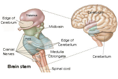brainstem-and-brain
