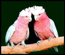 Two galahs, pink birds with grey wings, gaze at the camera. They look pretty mellow.