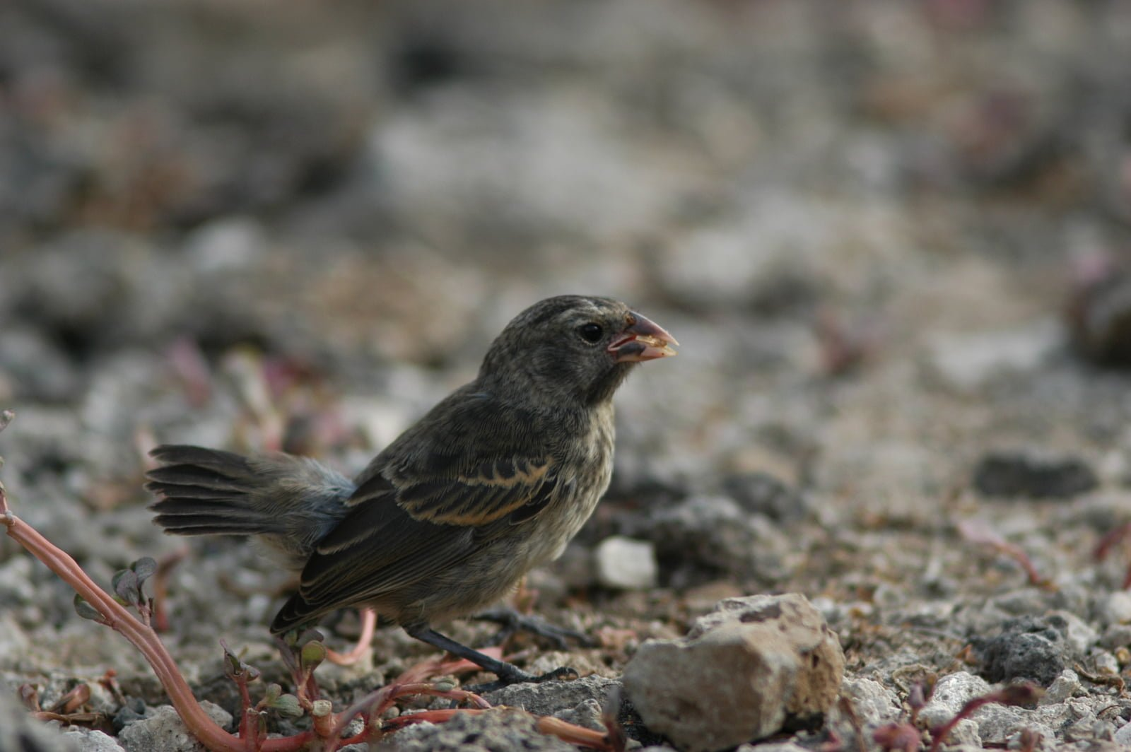Evolution In Motion The On Going Case Of Darwin S Finches