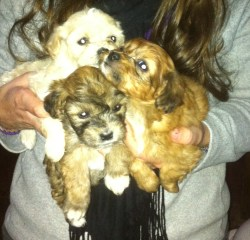Pequenise pups.