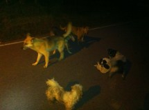Gang of dogs roaming the town at night.