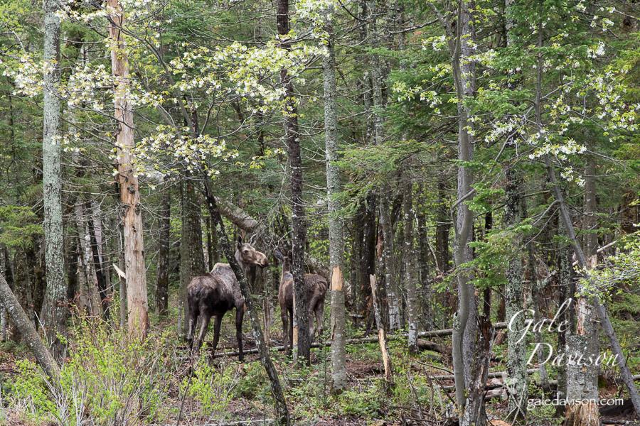 Moose leaving -0506