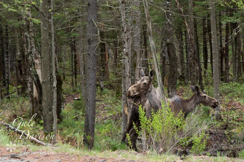 Moose with Calf-0469