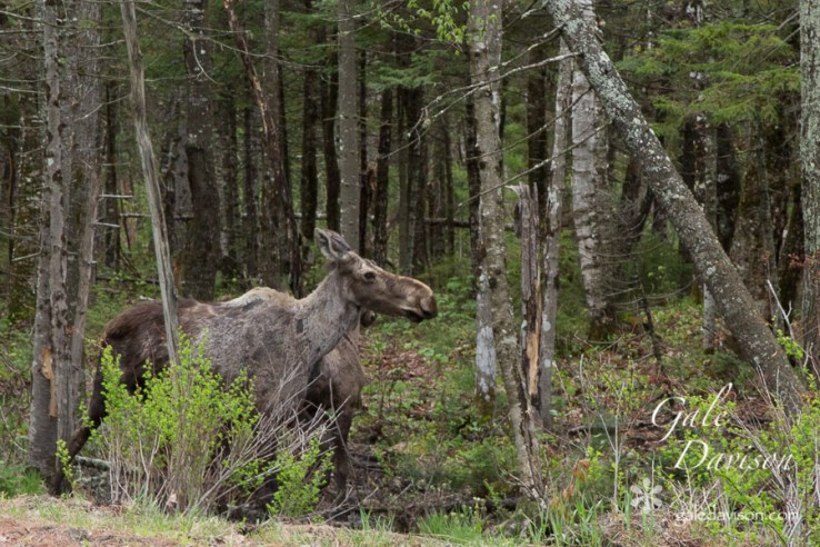 Mother Moose Protecting Calf-0471