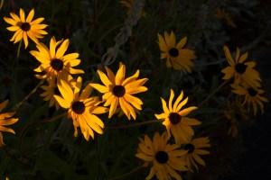 Gold Black-Eyed-Susan Flowers brightly lit against shadowed background.