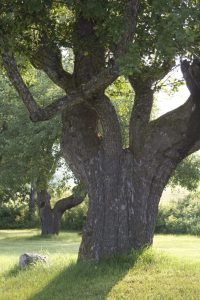 Ancient huge apple tree, emphasis on trunk and shadows.