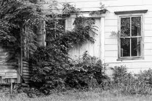 Black and White image of dragon shaped wisteria vine climbing old house. Vine is also visible through window growing inside house.