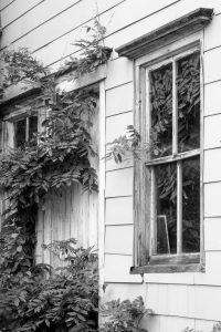 Black and White image of wisteria vine climbing the wall of an old house.