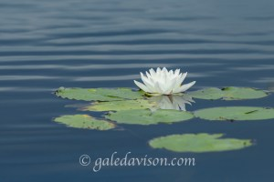 White water lily with green pads on rippled water. Belgrade Marsh, Maine.