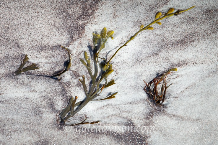 Bladderwrack seaweed with garnet crystal sand patterns.