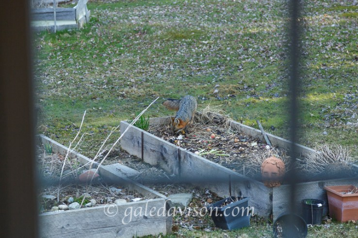 Grey Fox through Window in raised bed.
