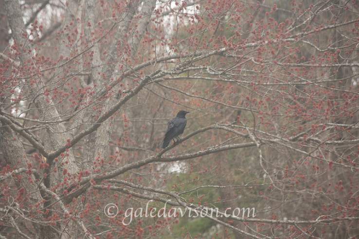 American Crow in Flowering Maple Tree