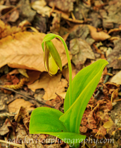 Yellow Lady Slipper taken in the Kennebec Highlands of Maine