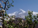 Nilgiri North and Apple Blossoms. Marpha, Nepal