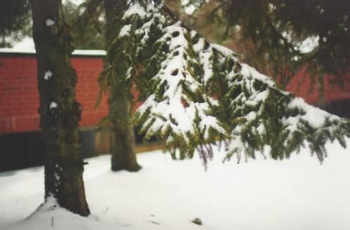 Ветки ели в снегу - Природа - Красивые картинки, фото ...