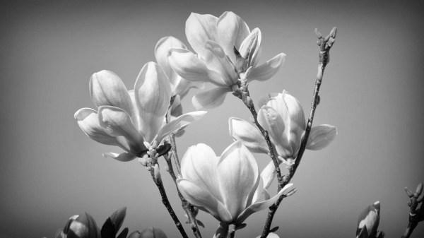 Красивые цветочки, весна - Черно белые - Обои на рабочий ...