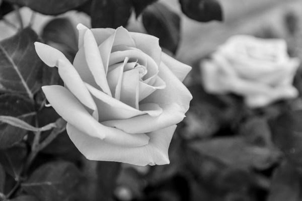 Бесцветная роза - Черно белые - Обои на рабочий стол ...