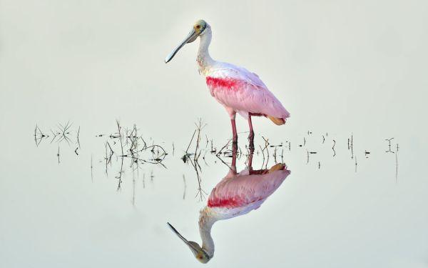 Розовая цапля в воде - Животные - Обои на рабочий стол ...