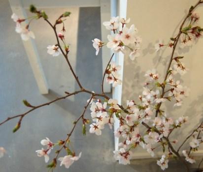 桜が届きました。
