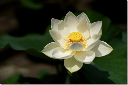 Lotus in white Takashi.M