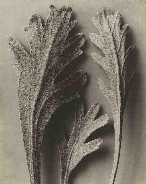 Karl Blossfeldt: Achillea clavenae (in Pinakothek der Moderne, Munich) source: wikimedia commons