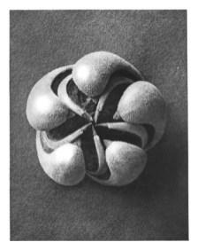 Karl Blossfeldt: Blumenbachia hieronymi (Loasaceae), open seed capsule, (published in Wundergarten der Natur, 1932) source: wikimedia commons