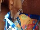 Santiago en adopción-galgo-galicia
