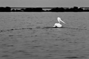 galigallery - pelicani-3411