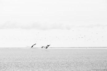 galigallery - pelicani-3427