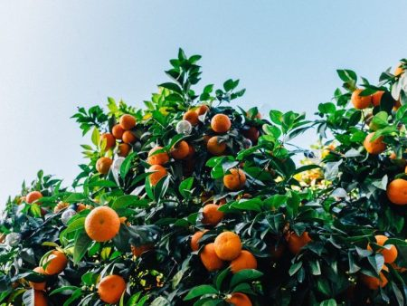 עצי פרי